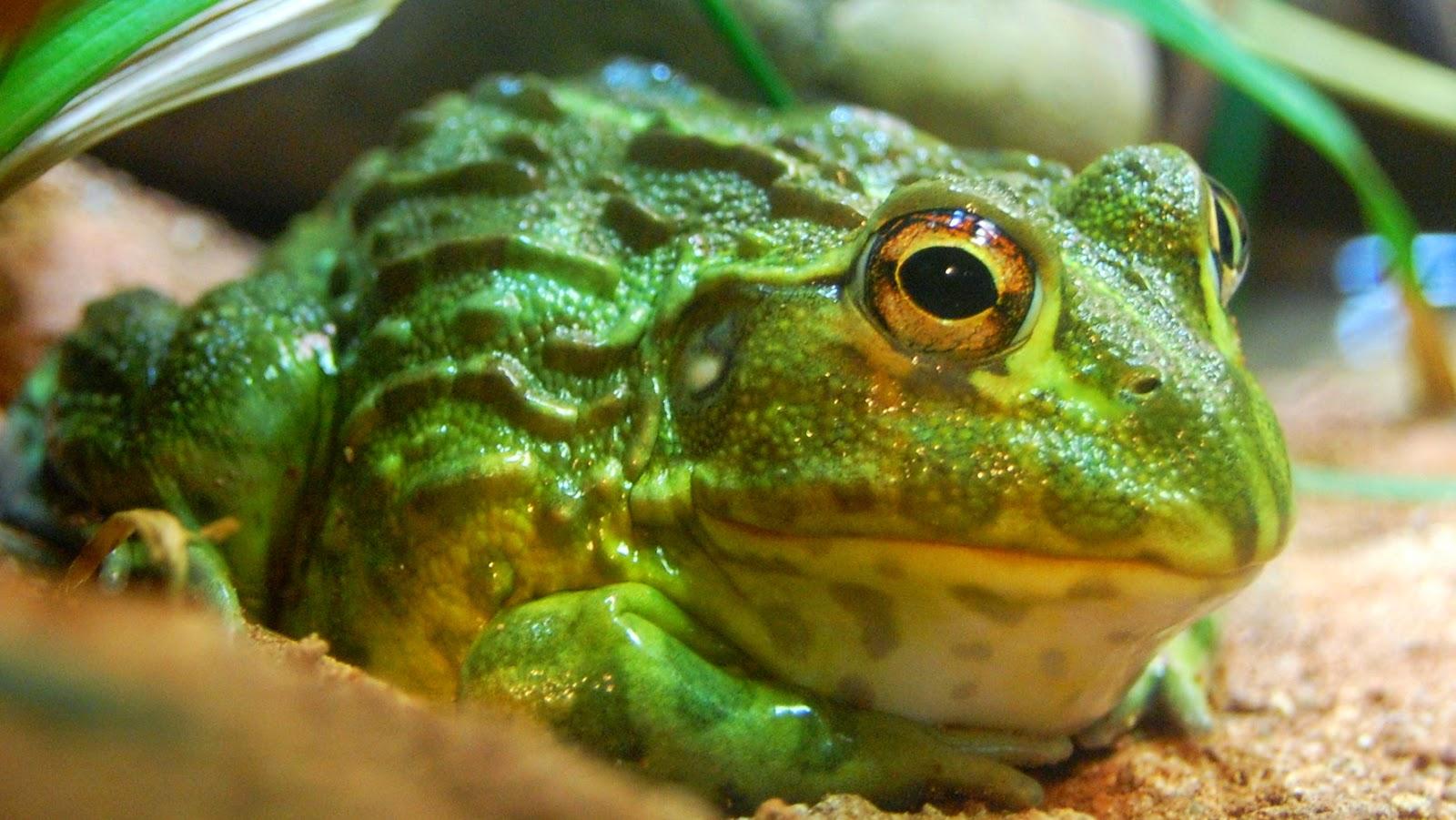 Bullfrog: Makanan - Makanan Lezat Yang Beracun
