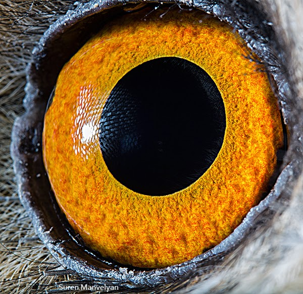 This is a close up of a long-eared owl eye