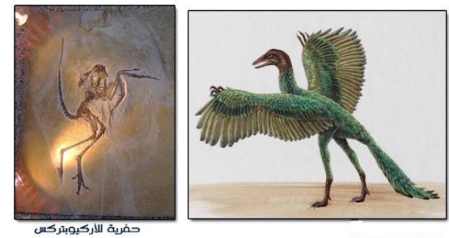 4- الأركيوبتركس Archaeopteryx