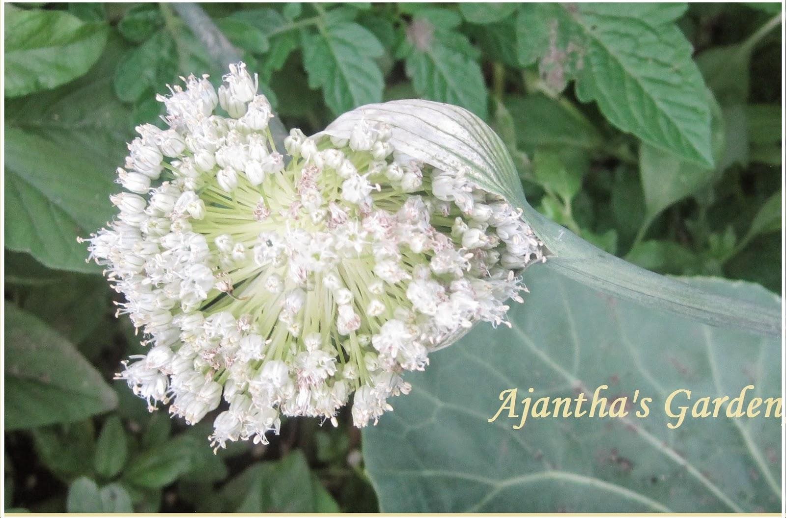 Ajantha's Garden/Leek flower