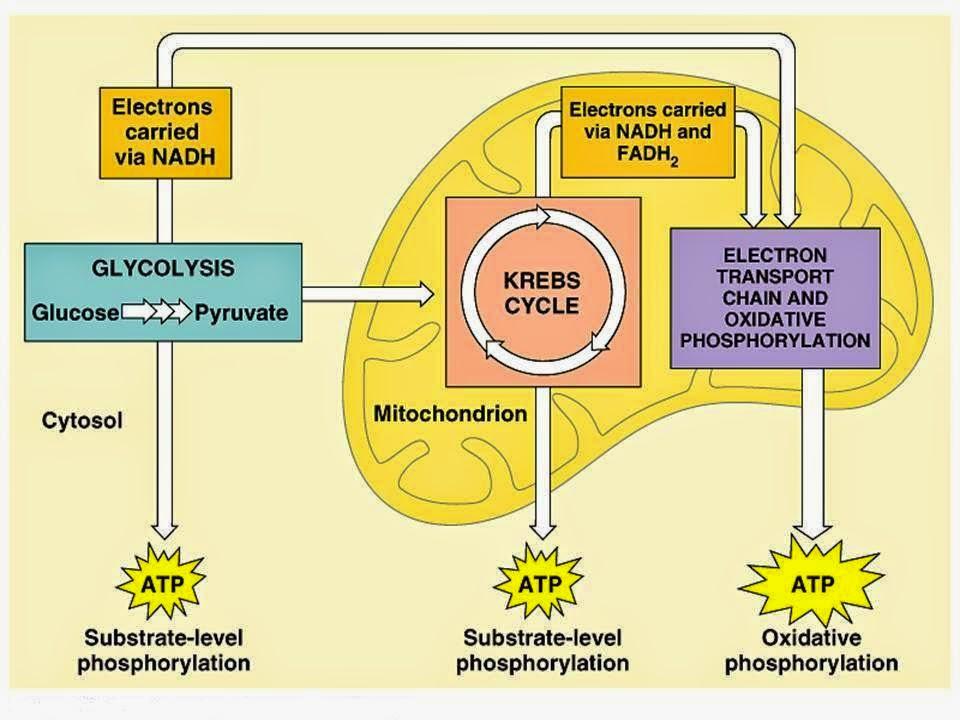 Indikator 25 erudio scientia biology perbedaan antara keempat tahapan tersebut dapat dilihat dalam tabel berikut ccuart Choice Image