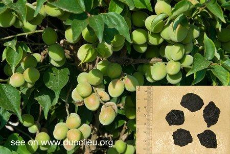 Prunus mume (Sieb.) Sieb. et Zucc.