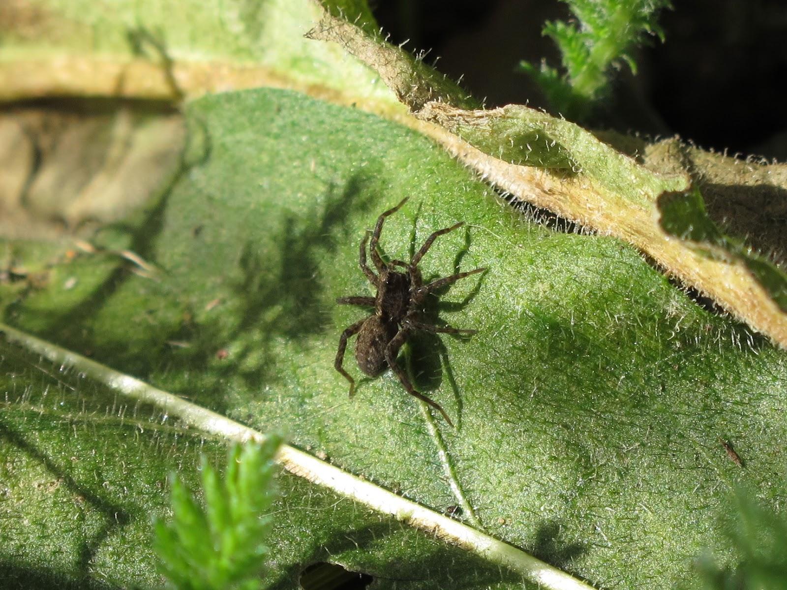 BugBlog: Sunbathing wolf spiders