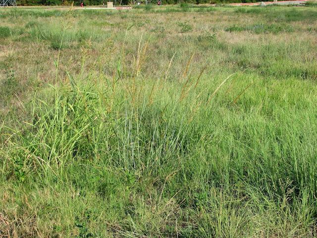 zoysia vs bermuda grass www imgarcade com online image