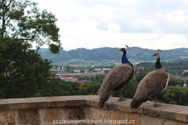 pávi na děčínském zámku // peacocks in the Decin Castle