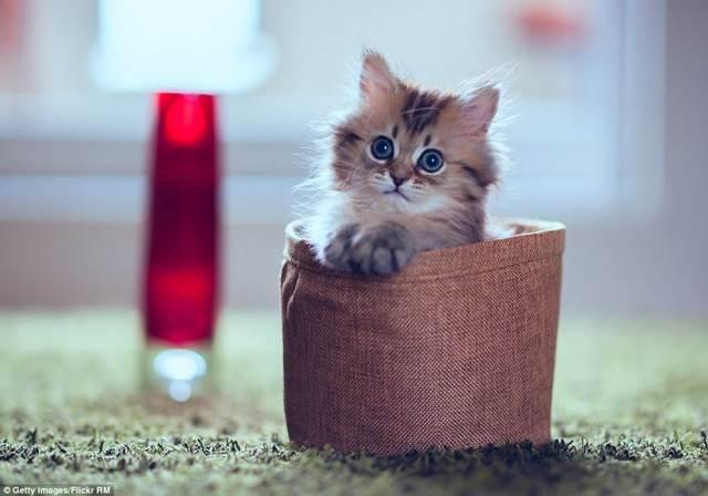 anak kucing dalam bakul