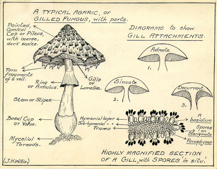 Amanita Muscaria Structure Function