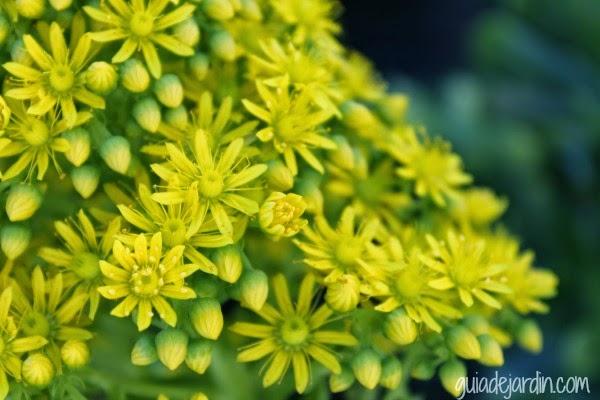 Flores de aeonium