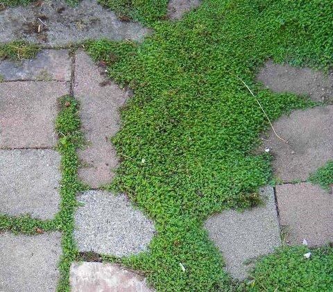 si buscas una planta tapizante de esas que sirven para rellenar las llagas entre las losas del jardn ya la has encontrado