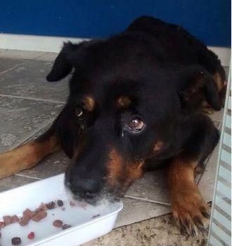 O rottweiler dócil e carinhoso foi resgatado muito magro