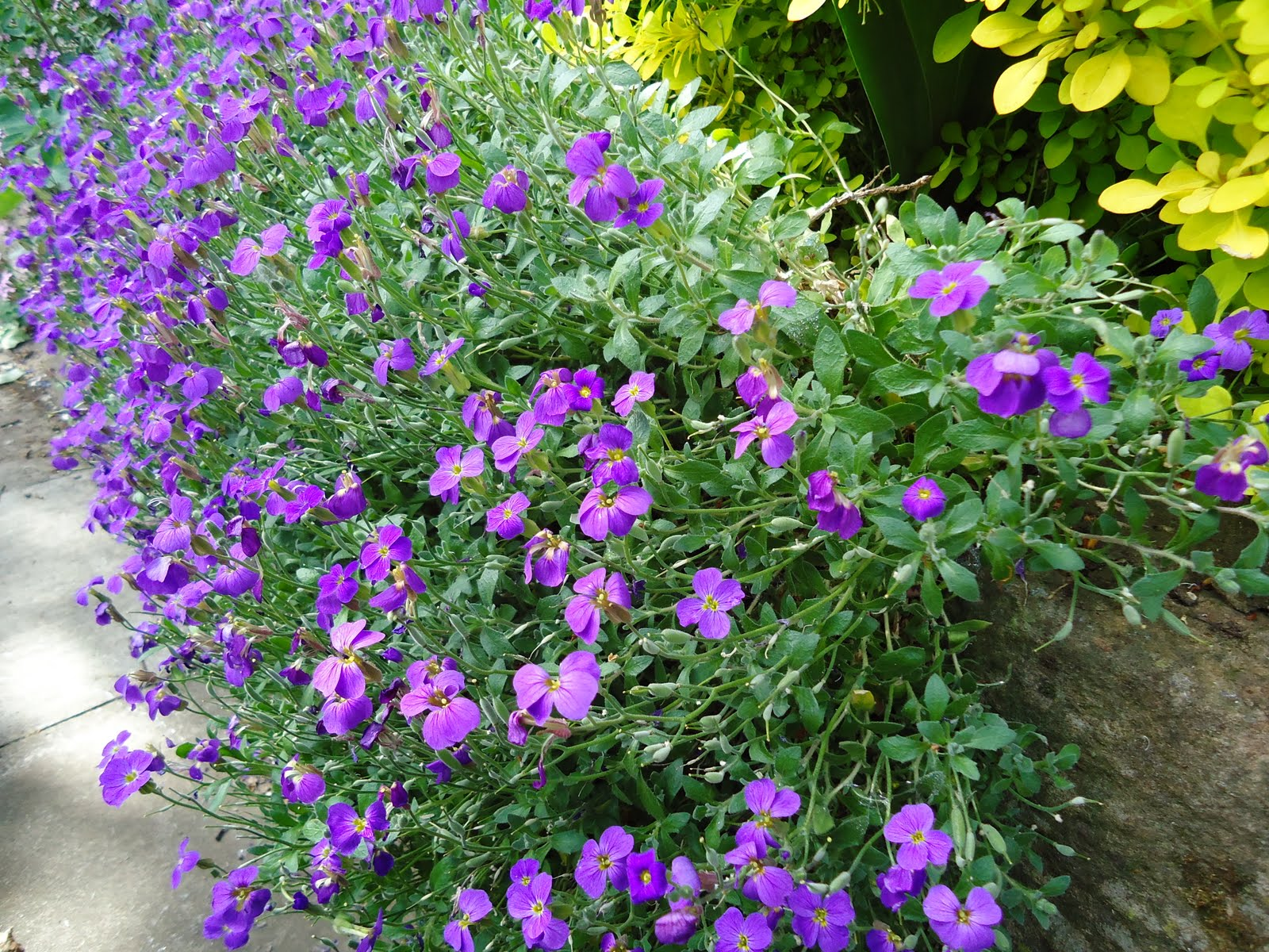Perennial Plant Growing About 4 Inches High And Spreading 18 24 There Are Several Varieties In Varying Shades Of Red Lilac Purple