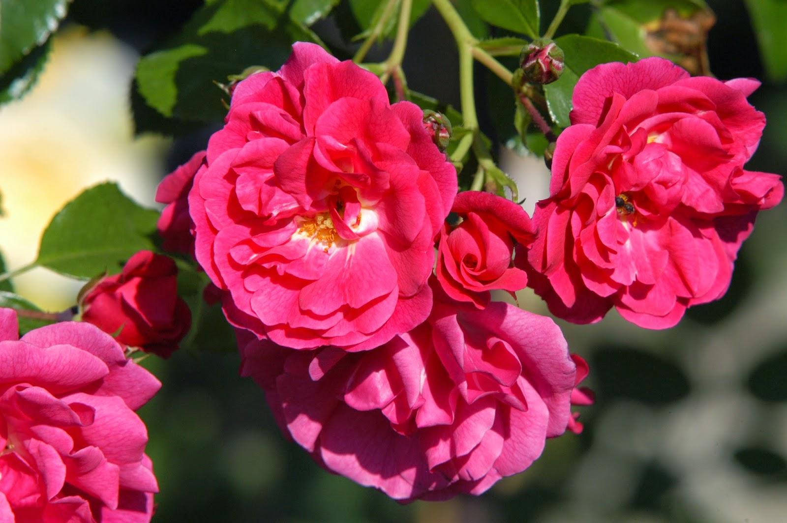 La passion des rosiers la p pini re fil roses les 5 meilleurs rosiers grimpants s lection - Feuilles de rosier qui jaunissent ...