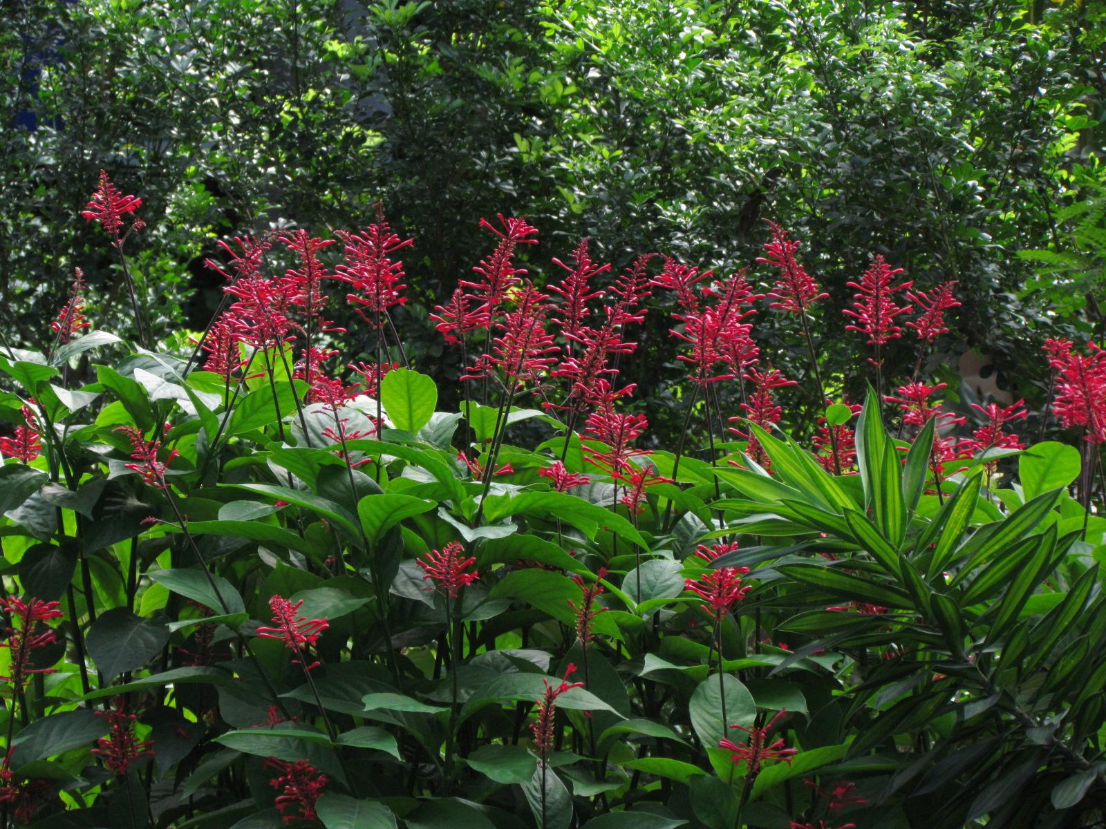 1784 firespike for Garden plants