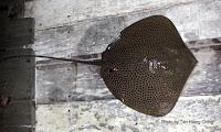 Honeycomb Stingray, Leopard Whipray