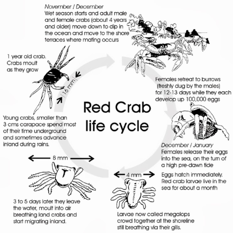 Crab Diagram Of Red - Electrical Drawing Wiring Diagram •
