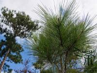 Intip Perbedaan Pohon Cemara dan Pohon Pinus Yuk!