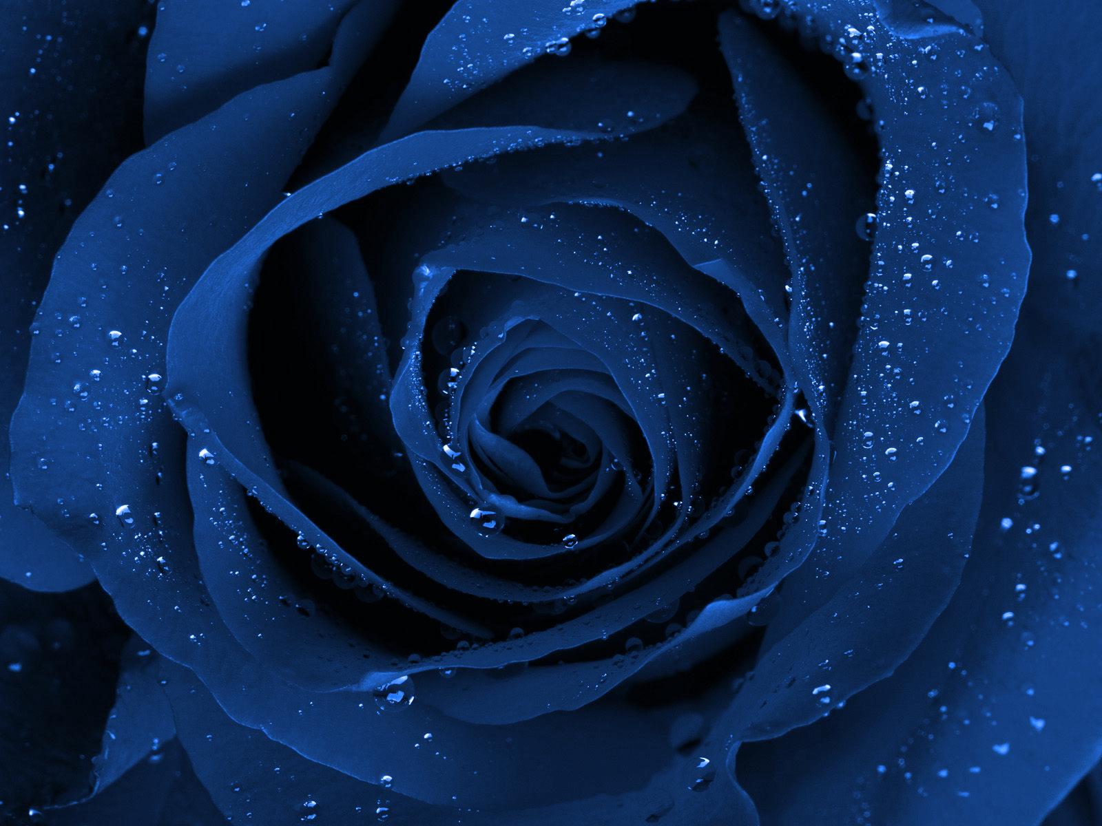 Beautiful Rose Flower Wallpaper Backgrounds