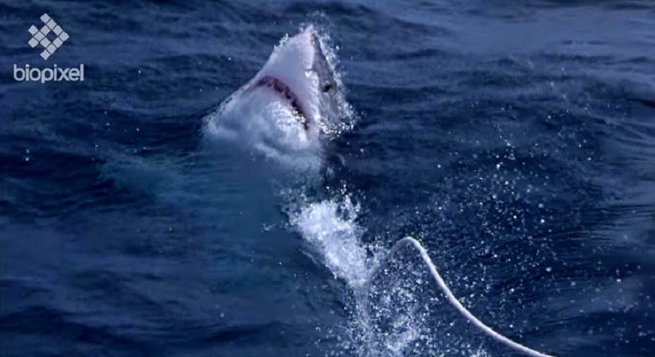 Great white breech. Shot by Biopixel at 10000 frames per second