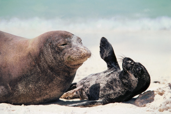 15 cutest endangered animals in the world, hawaiian monk seals