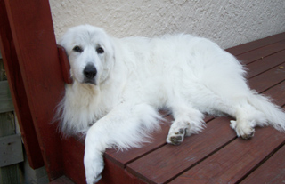 adopted Maggie from the Great Pyrenees Rescue in Minneosta 10 years ...