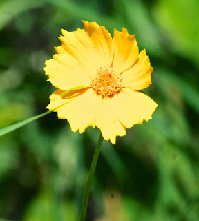Coreopsis (Coreopsis lanceolata)