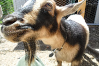Close up of Nigerian Dwarf Goat face