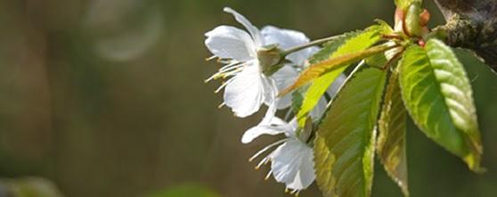 Blomstrende frugttræer i forårshaven