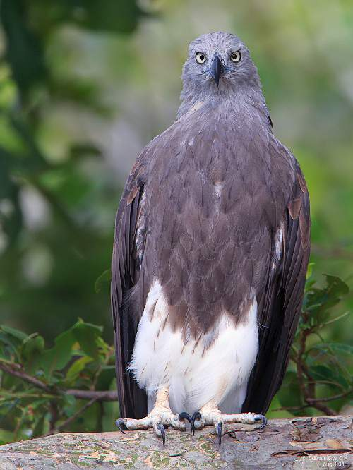 Indian birds - Image of Lesser fish-eagle - Ichthyophaga humilis