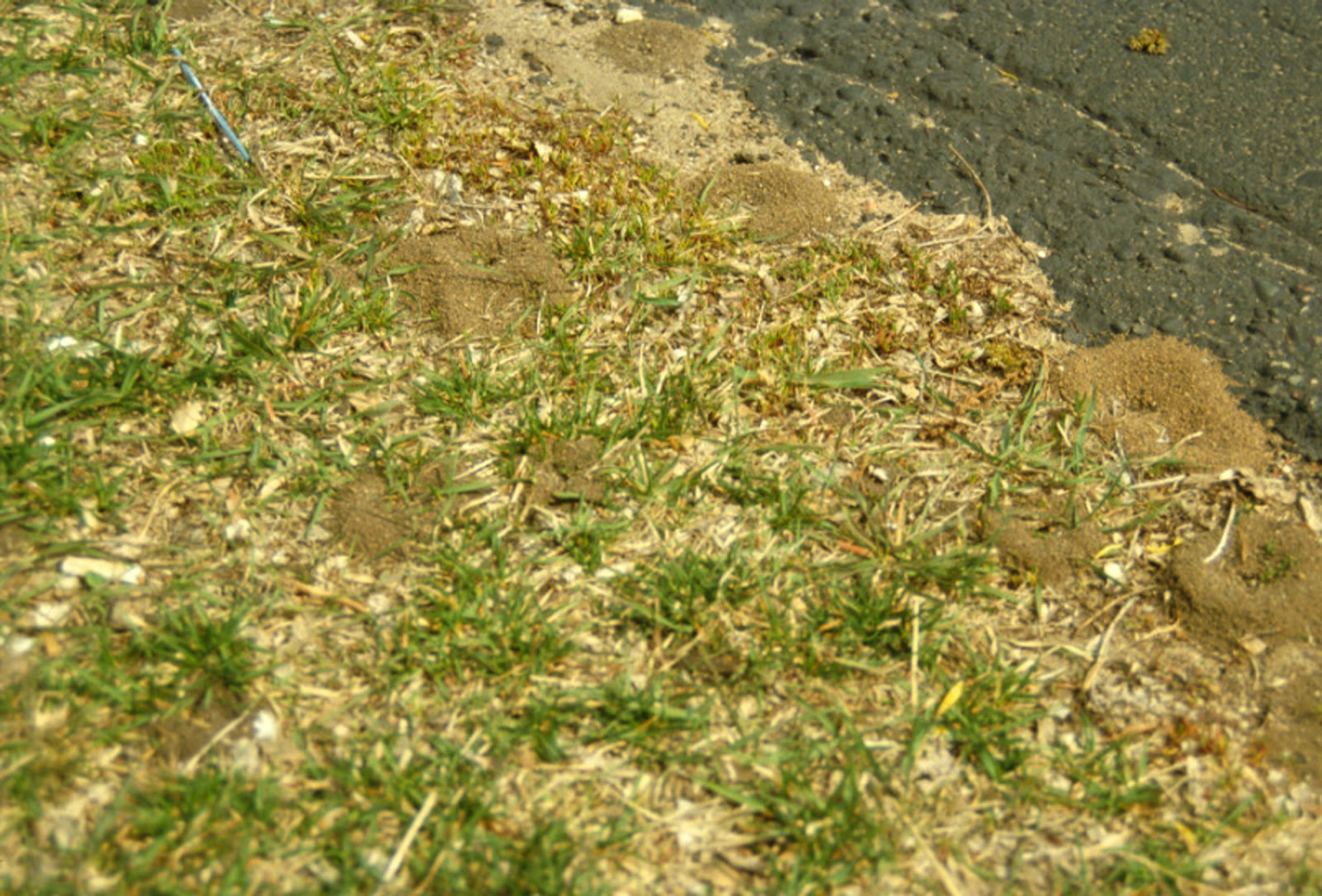 Ants in turf yard and garden news university of minnesota cornfield ant nests they take advantage of sparse thinning grass photo jeffrey hahn umn extension ccuart Choice Image