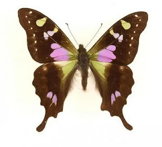 7 Jenis Kupu-kupu Paling Menakjubkan Di Dunia [ www.BlogApaAja.com ]