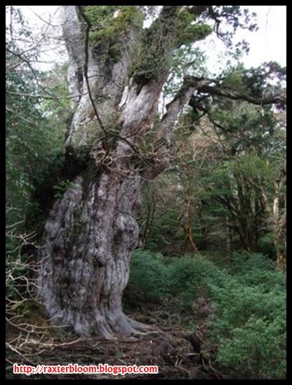3 Pohon Tertua yang Ada di Dunia raxterbloom.blogspot.com