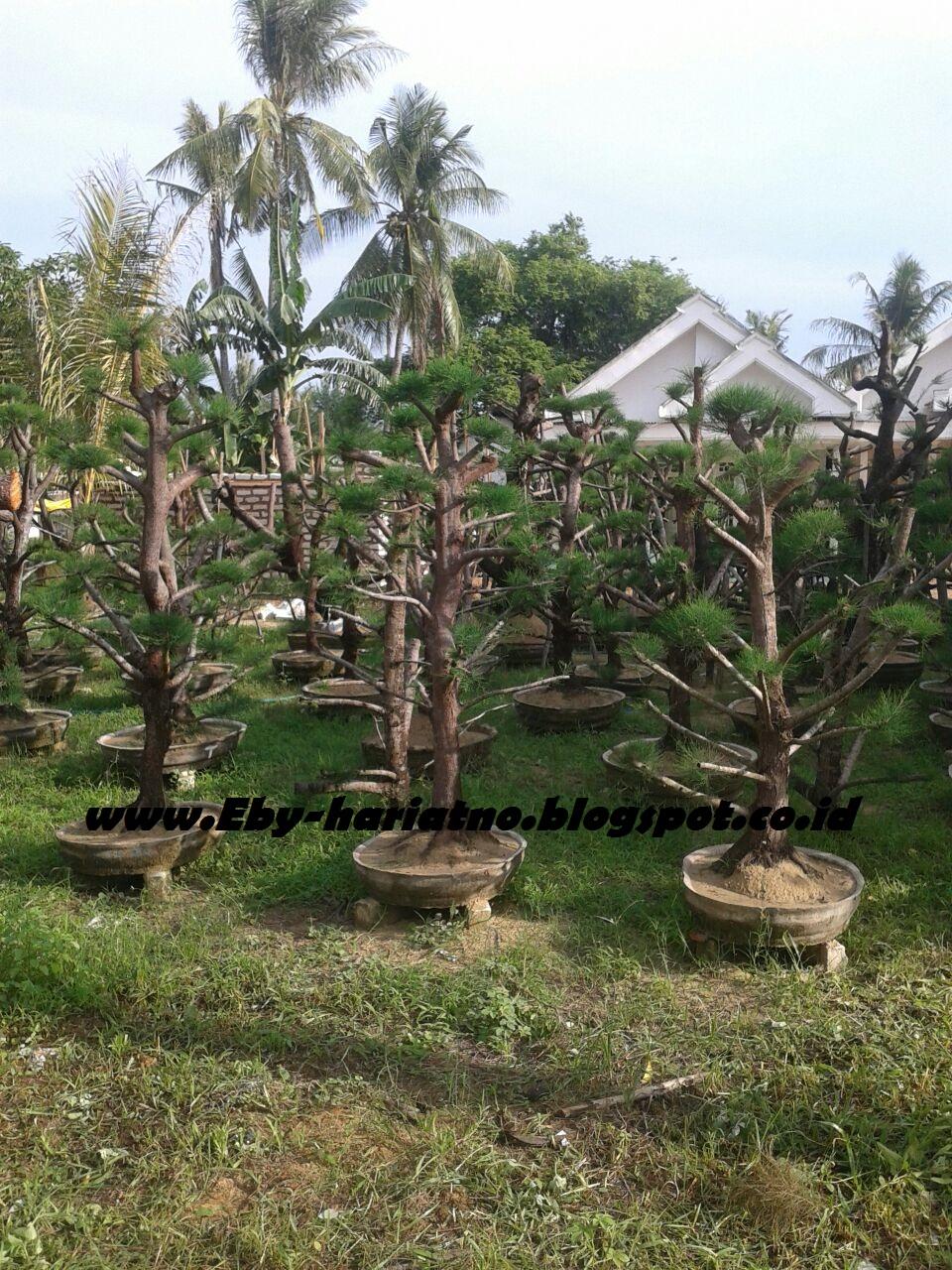 Cemara Udang Casuarina Equisetifolia Berbagi Tips Dan Trik Terbaru