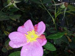 En lille vild-rose