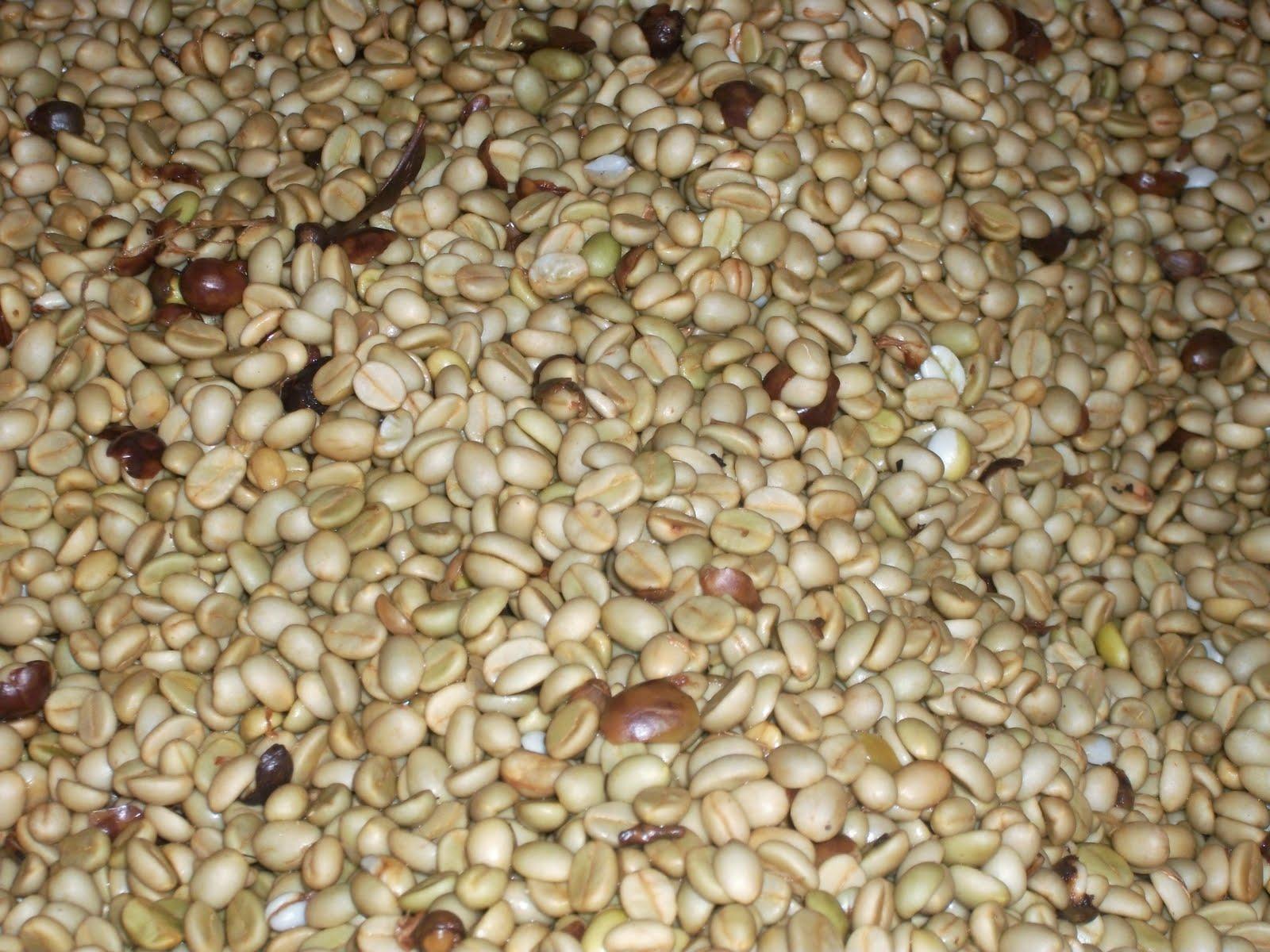 Fermenting Coffee Beans ~ Mi vida humilde may