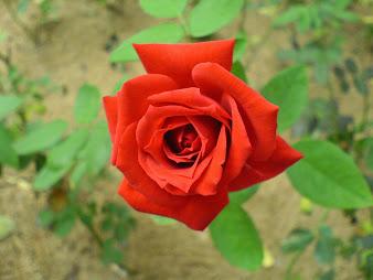 #9 Wonderful Flowers Rose Wallpaper