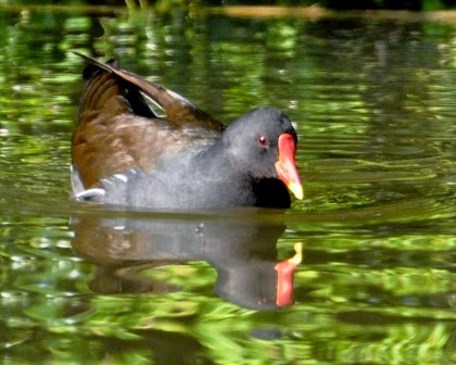 moorhen on water