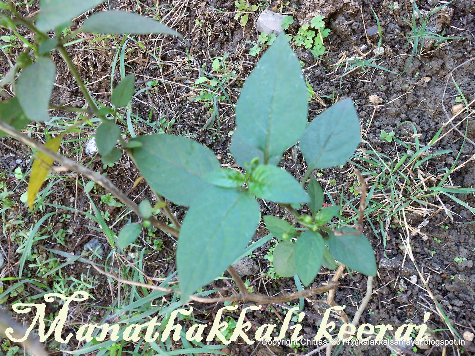 Manathakkali keerai [ Black nightshade leaves ]
