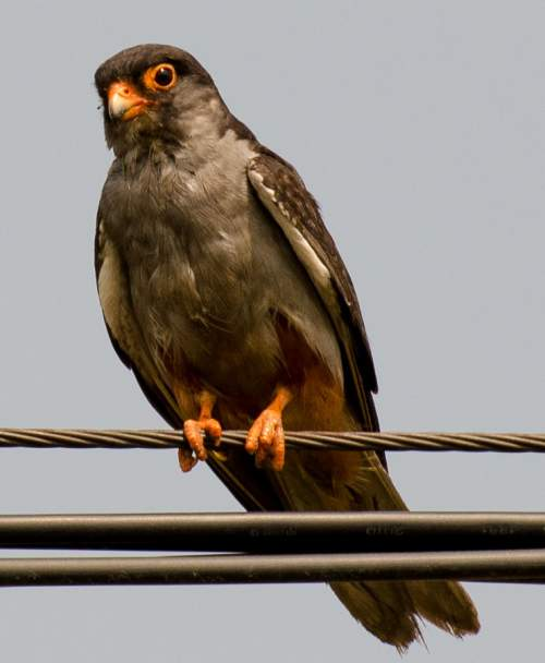 Indian birds - Amur falcon - Falco amurensis