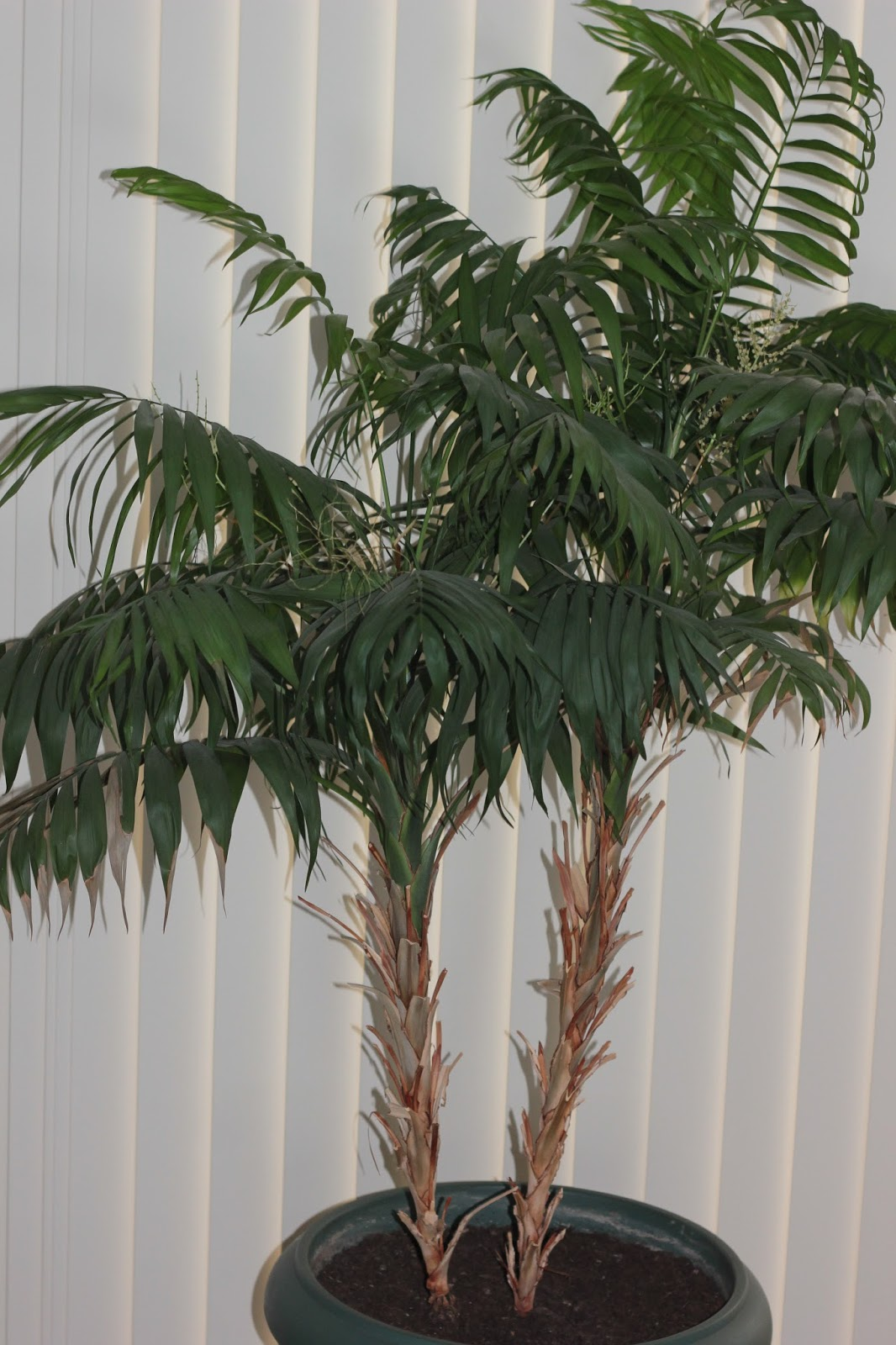Palm tree indoor houseplant cleans the air and removes carbon dioxide from indoor environments.
