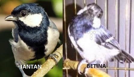 Foto Burung Gelatik Jantan