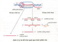 ARN và quá trình phiên mã