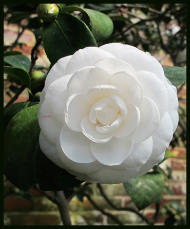 White camellia blooming at Lyman estate greeenhouse