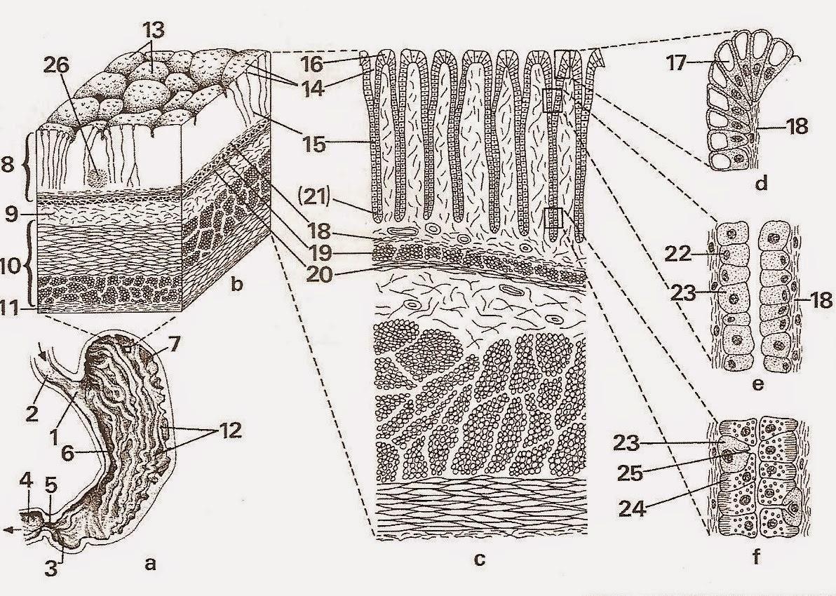 Auftrag 8 Mikroskopische Darstellung und Funktionen der ...