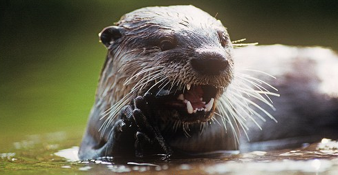 AFRICAN CLAWLESS OTTER (Cape clawless otter)