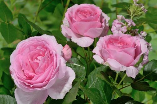 Ghita Renaiccanse rose сорт розы фото