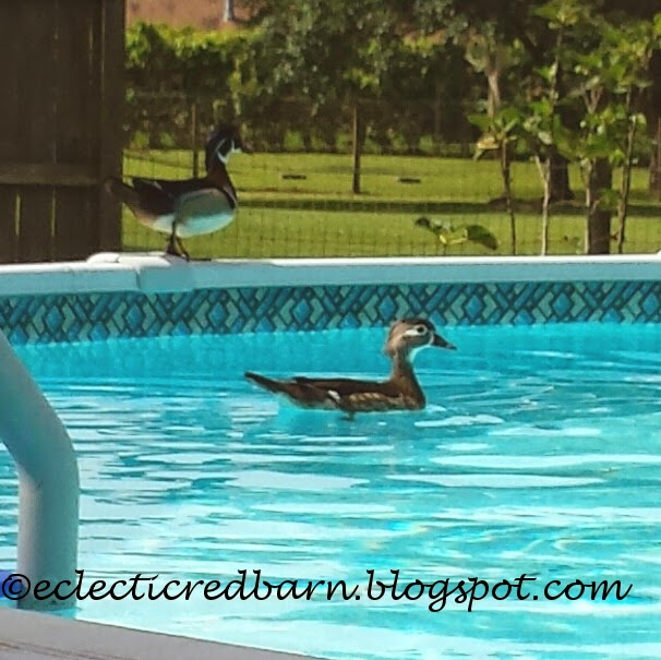 Eclectic Red Barn: Mallards in swimming pool