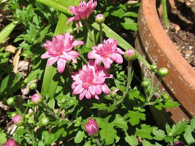 Annieinaustin, pink chrysanthemum in May