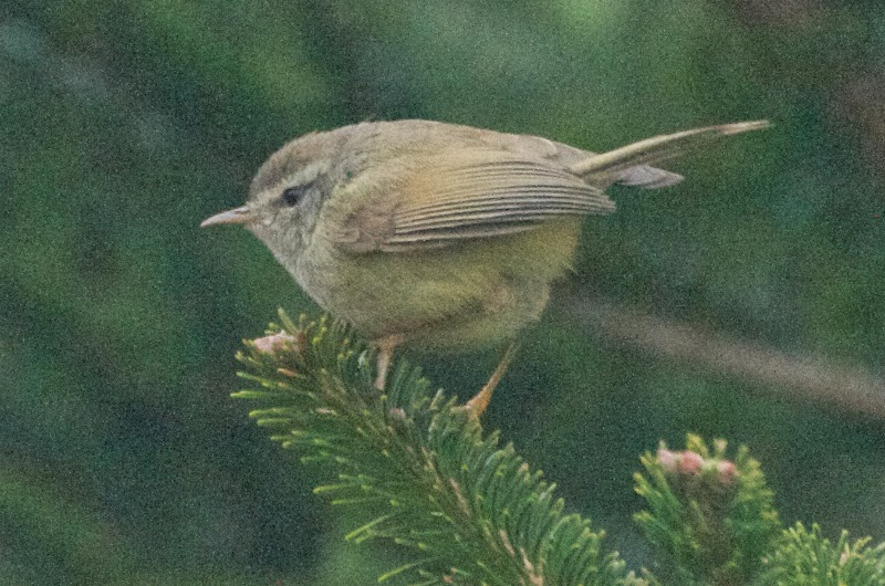 Yellow-bellied Bush Warbler (Horornis acanthizoides concolor)