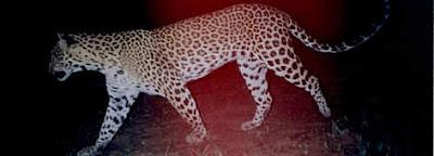 Macan Tutul Indocina ( Panthera Pardus Delacouri)