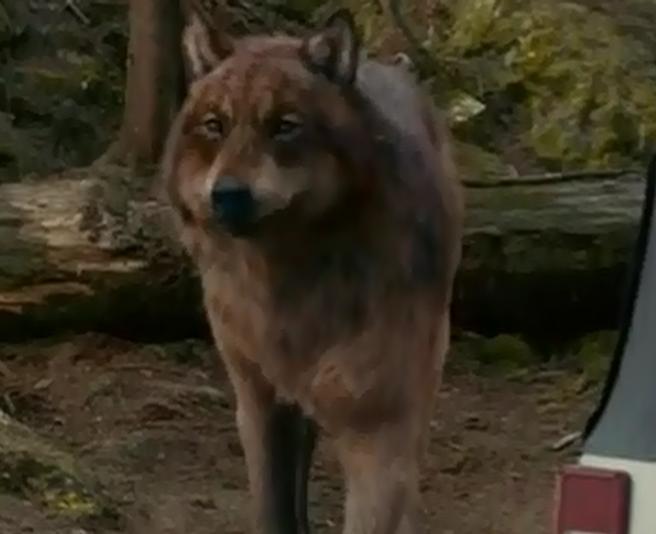 Werewolf Twilight Jacob Werewolf Twilight Jacob